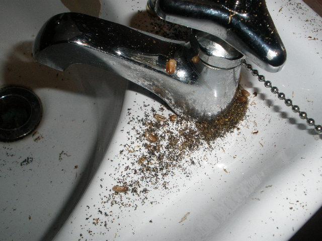 手洗場にチャバネゴキブリの糞と卵鞘がありました。
