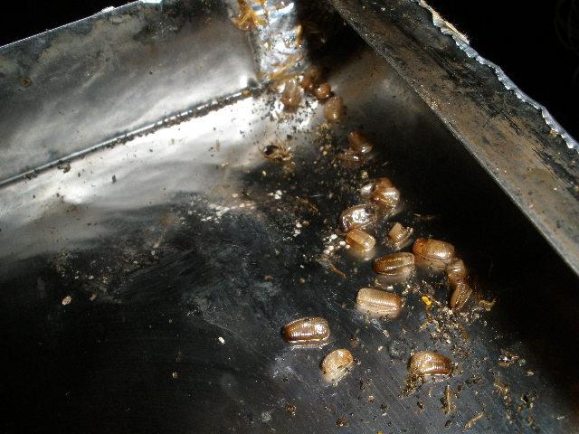 ゴキブリの画像 p1_31
