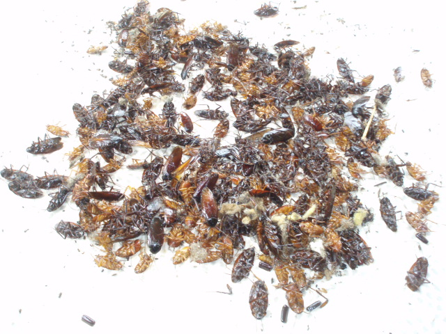 ゴキブリの画像 p1_32