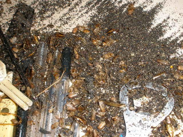 冷蔵ショーケースの下はチャバネゴキブリの糞だらけでした。